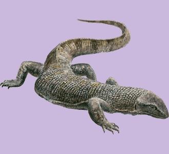 Take in a black tree monitor species reptile